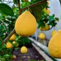 Ҳандақда лимонлар, лимонлардан миллионлар