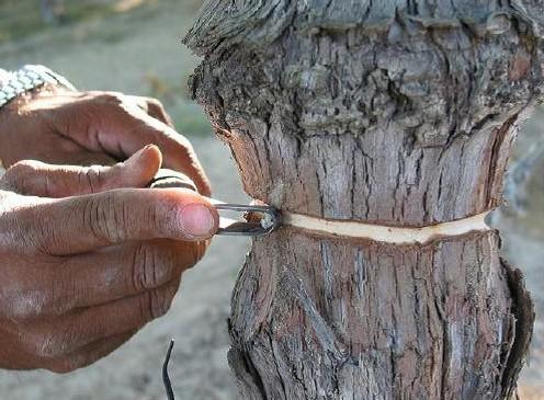 Токни халқалаш — узум доналари ҳажмини 10-30 фоизга оширади