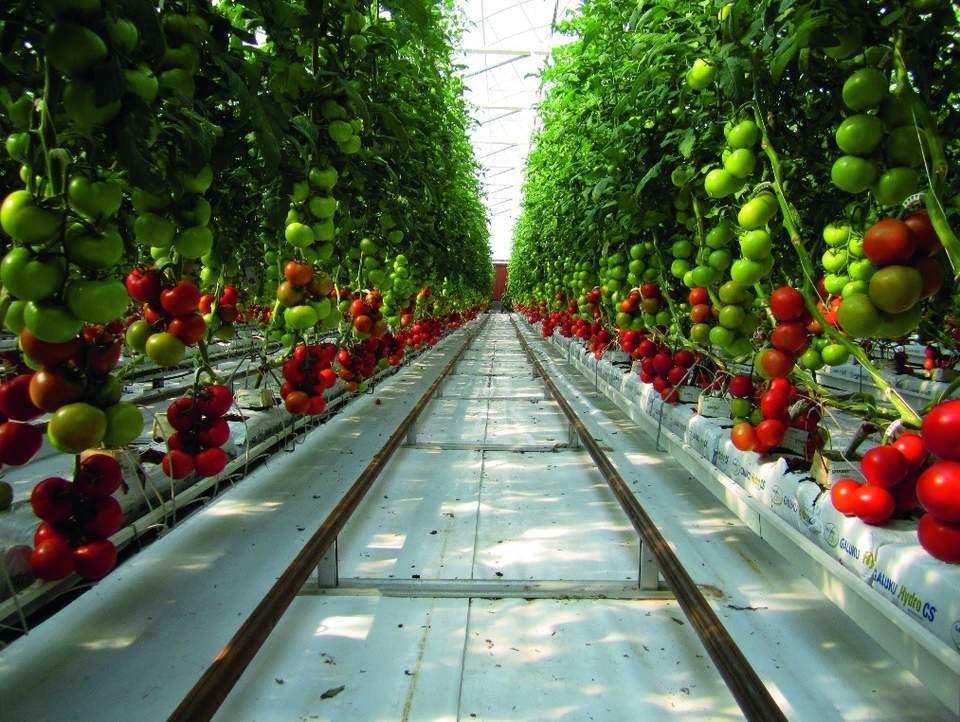 Янги намунавий иссиқхоналарда гидропоника усули билан помидор етиштириш